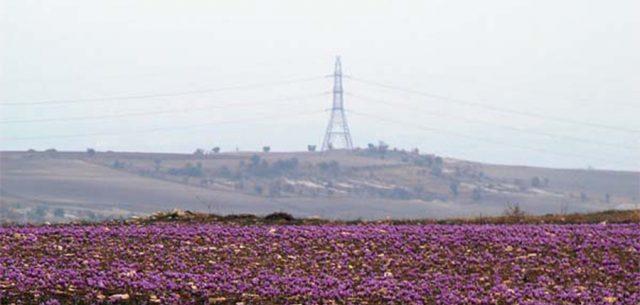 Plongez au coeur des récoltes et de l'histoire du safran