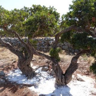 Le mastic de Chios, premier chewing-gum de l'Histoire
